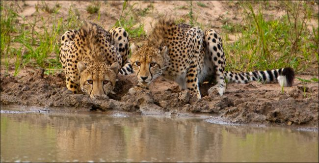 Shaw ARPS_John_Cheetahs at the waterhole