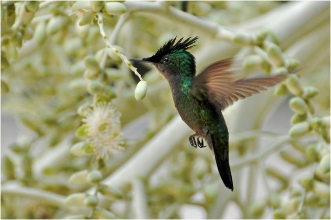 Crested Hummingbird by Chris Fent. PDI 18 points
