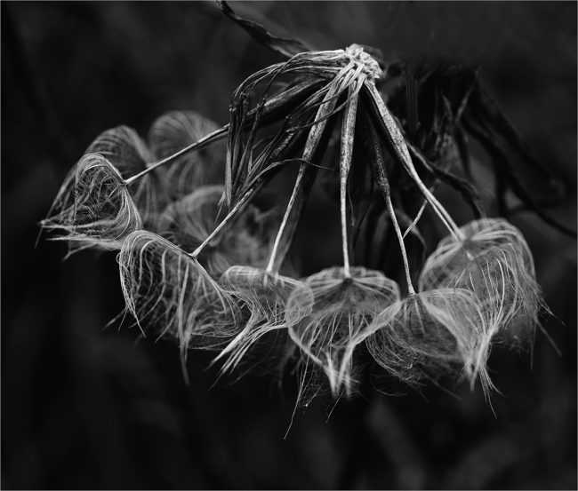 Blown Dandelion Clock by Ann Shaw