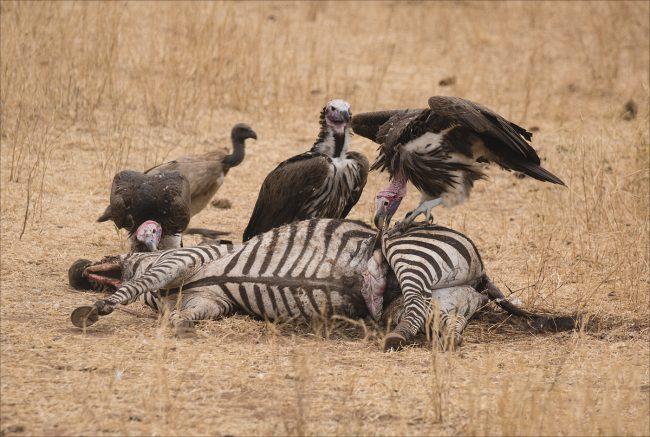 Scavenging Vultures