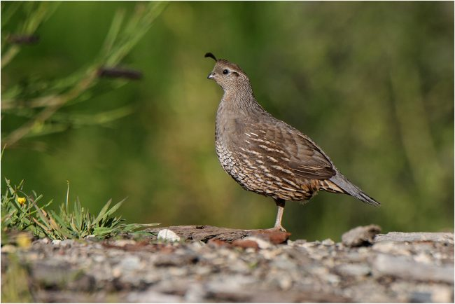 Californian Quail – PDI by Chris Fent 18 points