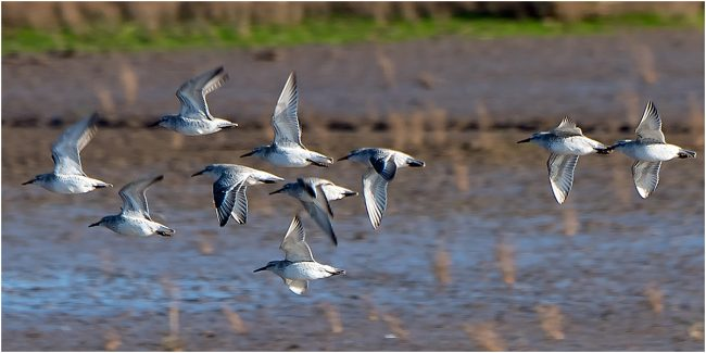 KCC.Dunlins in Flight