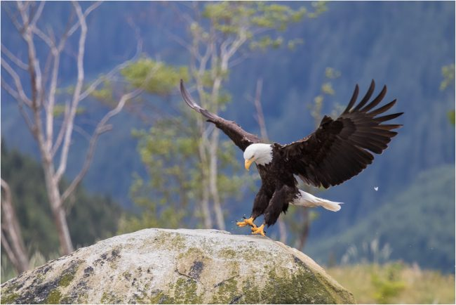Bald Eagle, Knight Inlet, BC